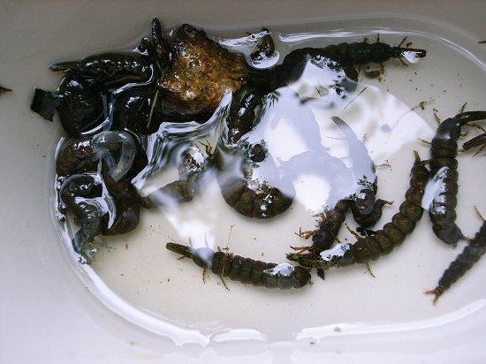 ヒゲナガトビゲラの幼虫