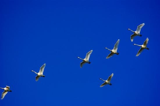 白鳥発見.jpg